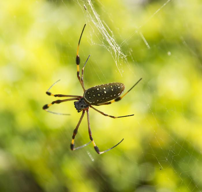 Jamaika12_hämähäkki