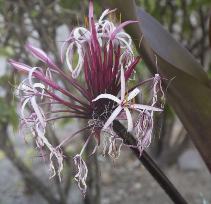 Nassau33_kukka