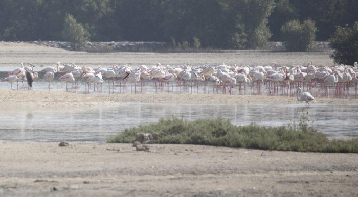 Linnut_Flamingo1