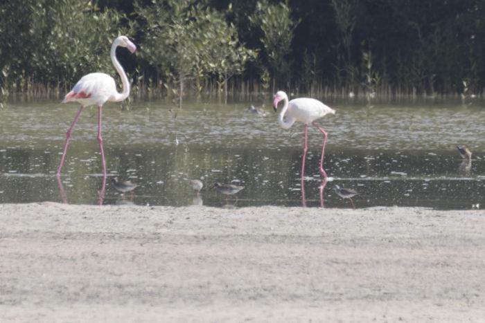 Linnut_Flamingo6