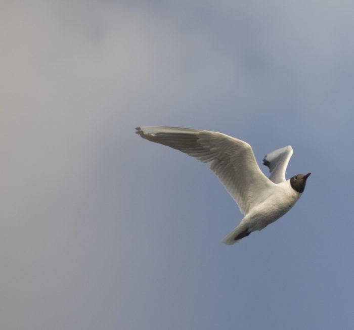 Linnut_Naurulokki4