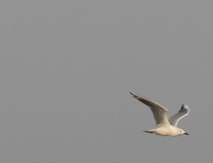 Linnut_Valkea lokki9