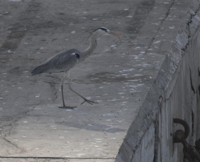 Linnut_harmaahaikara4