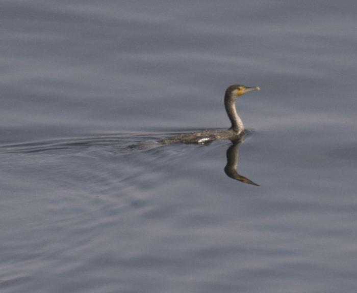 Linnut_merimetso ui