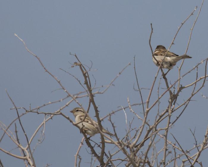 Linnut_varpunen